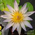 White Star Lotus by Joshua Bales