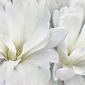 White Star Magnolia Flowers by Jennie Marie Schell