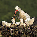 White Stork by Mircea Costina Photography