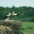 White Storks Displaying In Their Nest by Klaus Nigge