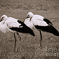 White Storks by Gabriela Insuratelu