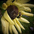 White Sunflower And Bee by Susan McMenamin