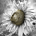 White Sunflower by Debra and Dave Vanderlaan