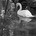 White Swan In Black And White II by Suzanne Gaff