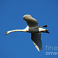 White Swan In Flight by Tom Conway
