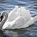 White Swan On Water by Elena Elisseeva