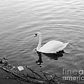 White Swan Solitary by Richard Morris