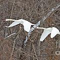 White Swans In Flight 1589 by Jack Schultz