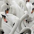White Swans by Ron Koeberer