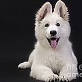 White Swiss Shepherd Dog by Jean-Michel Labat