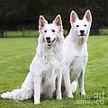 White Swiss Shepherd Dogs by Johan De Meester