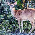 White Tail Deer Bambi In The Wild by Alex Grichenko