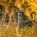 White Tail Deer by John Johnson