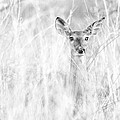 White-tail Doe High Key by Christopher Nelson