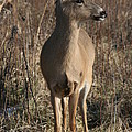 White-tail Doe by Roger Look