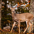 White Tail In Autumn by Melinda Ledsome