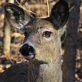 White Tailed Deer 1 by Jim Vance