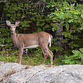 White Tailed Deer by Brenda Jacobs