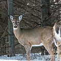 White-tailed Deer by Cheryl Baxter