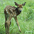 White-tailed Deer Fawn Meadow by Konrad Wothe