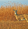 White Tailed Deer In Morning Light by John Vose
