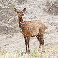 White Tailed Deer In Snow by Donna Doherty