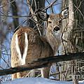 White-tailed Deer by Ken Keener