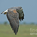 White-tailed Hawk by Anthony Mercieca