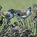 White-tailed Hawk Family by Anthony Mercieca