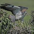 White-tailed Hawks At Nest by Anthony Mercieca