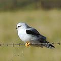 White Tailed Kite by Donna Blackhall