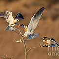 White-tailed Kite Trio by Anthony Mercieca