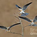 White-tailed Kite Young by Anthony Mercieca