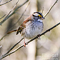 White Throated Sparrow by Amy Porter