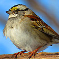 White Throated Sparrow And Blue Sky by Dianne Cowen