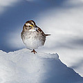 White Throated Sparrow Square by Bill Wakeley