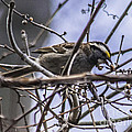 White-throated Sparrow With Berry by Ronald Grogan