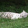 White Tiger 2 by Florentina De Carvalho