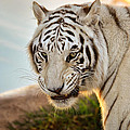 White Tiger At Sunrise by Evelyn Harrison