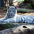 White Tiger Cub by Brian Jannsen