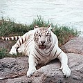White Tiger by Evelyn Hill