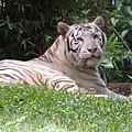 White Tiger by Florentina De Carvalho