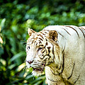 White Tiger Portriat by Jijo George