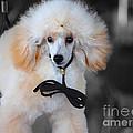 White Toy Poodle by Jai Johnson