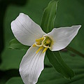 White Trillium by Marv Russell