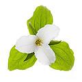 White Trillium Flower  by Elena Elisseeva