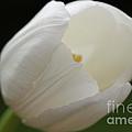 White Tulip 2 by Carol Lynch