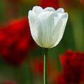 White Tulip - Featured 3 by Alexander Senin