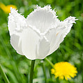 White Tulip On The Green Background by Michael Goyberg