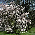 White Tulip Tree by Christiane Schulze Art And Photography